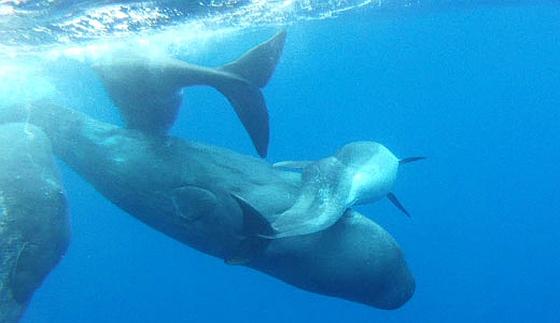 Potvissen met misvormde dolfijn