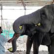 Circusolifanten in India bevrijd