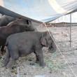 #GNvdD: 4 olifanten gered uit Indiaas circus