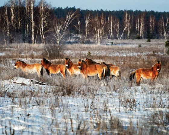 Przewalski paarden Chernobyl