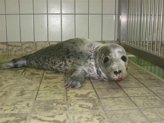 Zeehondenbaby Texel