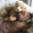 Puppyhandelaren in Brabant ongestraft?