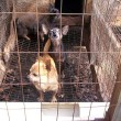 #GNvdD: Californië gaat zogeheten puppy mills verbieden