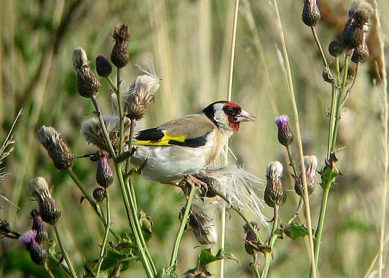 Putter - Vogelatlas
