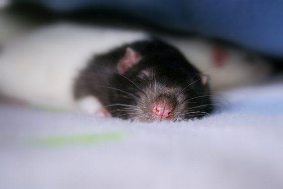 Rat - proefdieren
