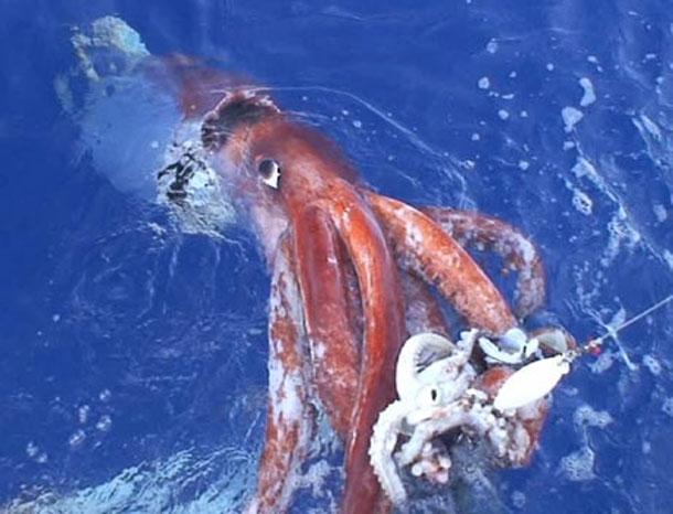 Reuzenpijlinktvis