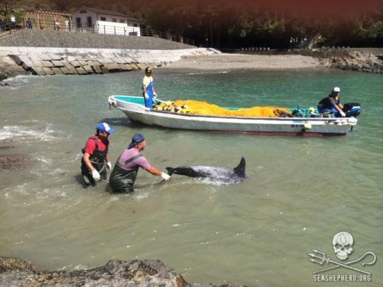 dolfijnenjachtseizoen