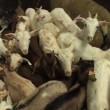 Nog steeds onduidelijkheid over hoeveelheden onverdoofd geslachte dieren