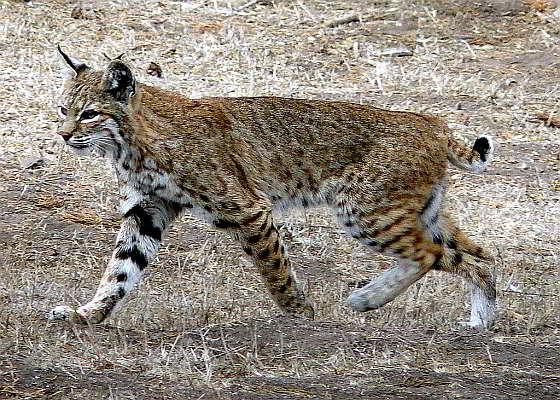 Rode lynx - bobcat