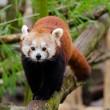 Arrestatiesvoor handel inhuiden bedreigde rode panda