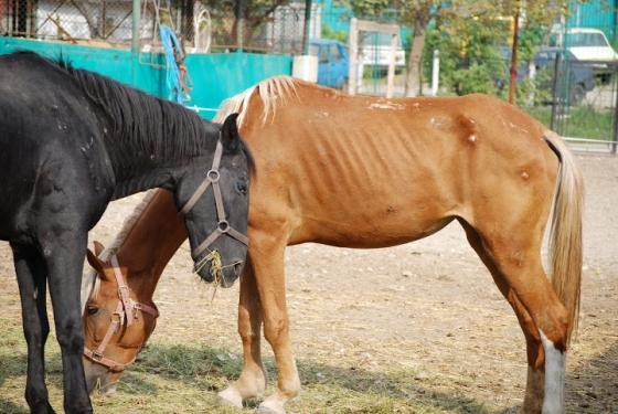 roemeense paarden in nood