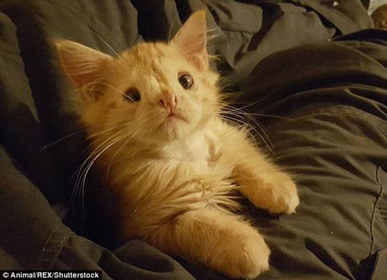 roodharige kitten