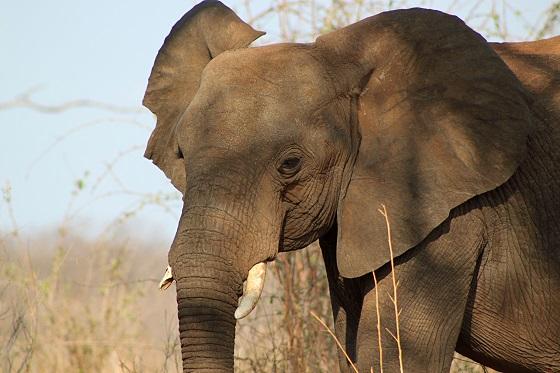 olifantenvlees