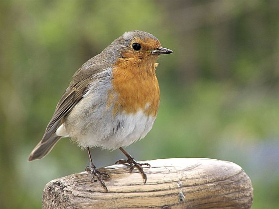 Roodborstje - tuinvogeltelling