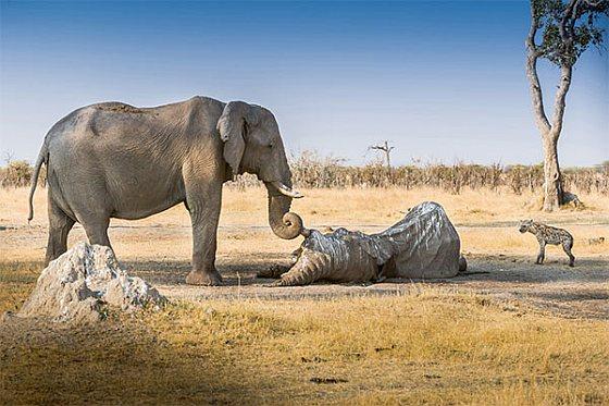 Rouwende olifant