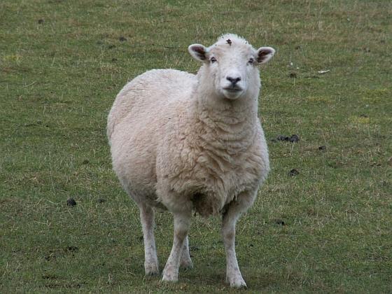 honderden schapen