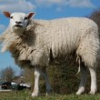 Bebloede en gegeselde schapen bij wolproductie