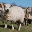 Vliegtuig maakt tussenlanding vanwege gestreste schapen