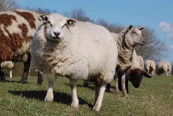 gestreste schapen