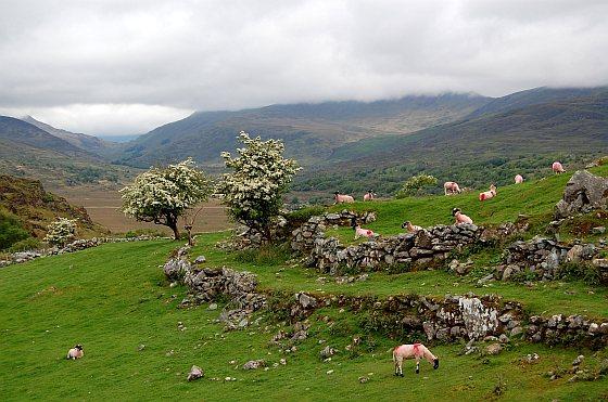 Schapen - Ierland