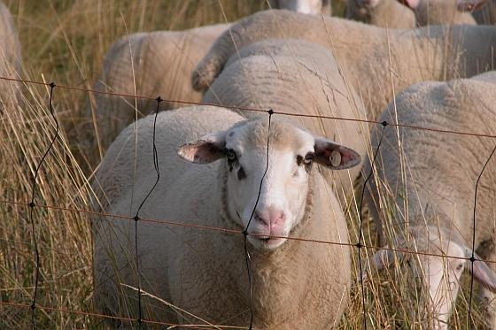 73 schapen