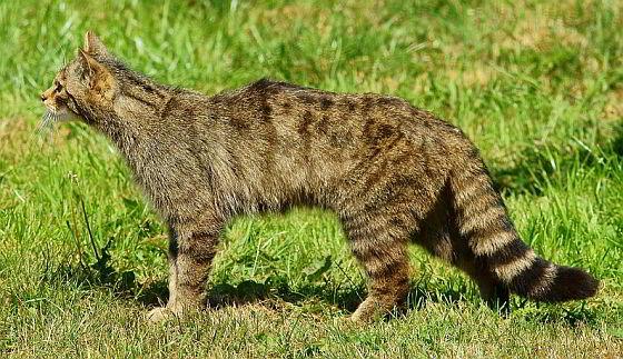 Schotse wilde kat