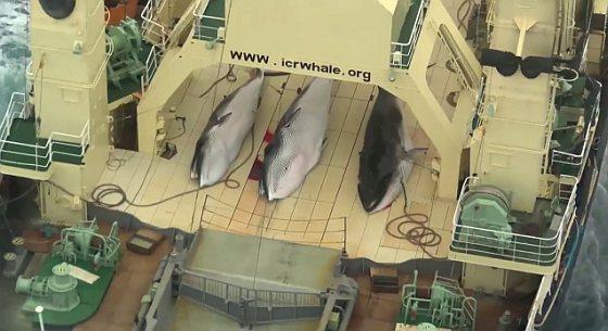 Sea Shepherd - Japan