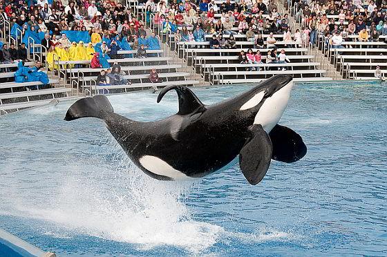 SeaWorld San Diego orkashow