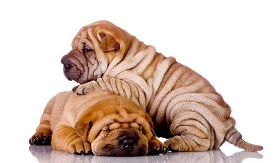 Sharpei pups