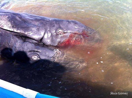 Siamese walvistweeling