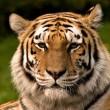Steeds meer tijgerboerderijen in China