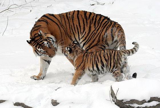 Siberische tijger in de sneeuw - het jaar van de tijger