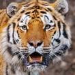 #GNvdD: Uitzetting Russische tijgers verloopt succesvol (video)