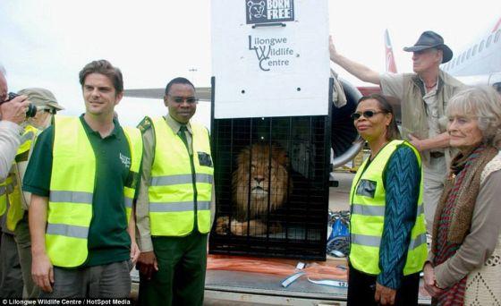 Simba de leeuw