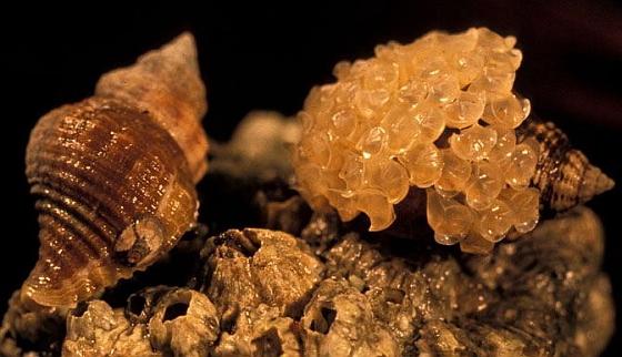 Slakkenman met eitjes