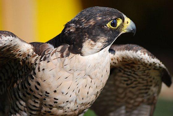 Slechtvalk - Vogelatlas