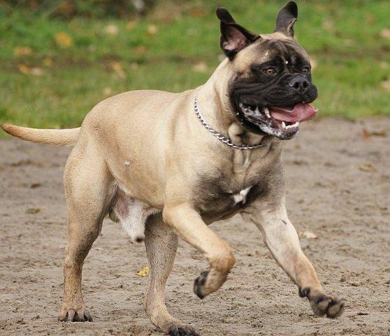 Hond met slipketting - wurgketting