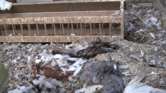 Dode kippen en duiven Sluis