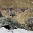 Petitie tegen Schotse sneeuwhoendrijfjacht enorm succes
