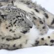#GNvdD: Jachtgrond wordt natuurgebied om sneeuwluipaarden in stand te houden