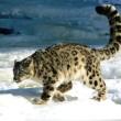 Bescherming sneeuwluipaarden Nepal krijgt prioriteit