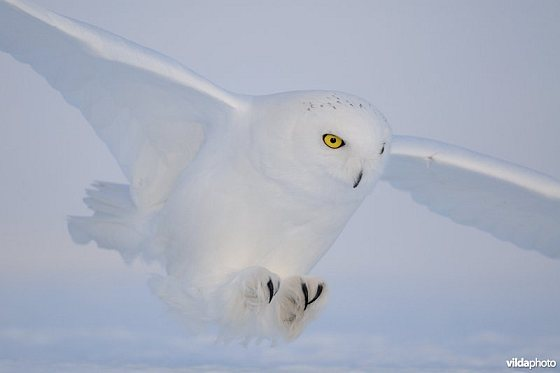 Sneeuwuil - Zeebrugge