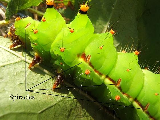 Spirakels - insecten