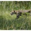 Cambodjaanse luipaarden over twee jaar uitgestorven