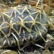 #GNvdD: 97 gesmokkelde Indiase sterschildpadden terug naar huis
