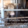 Eyes on Animals: horror in Turks slachthuis