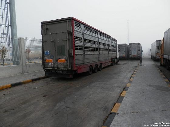 Stieren aan Turkse grens