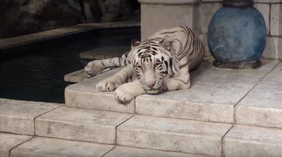 vier witte tijgers