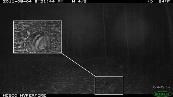 Sumatraans gestreept konijn