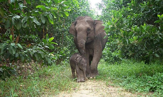 Sumatraanse olifant met kalfje